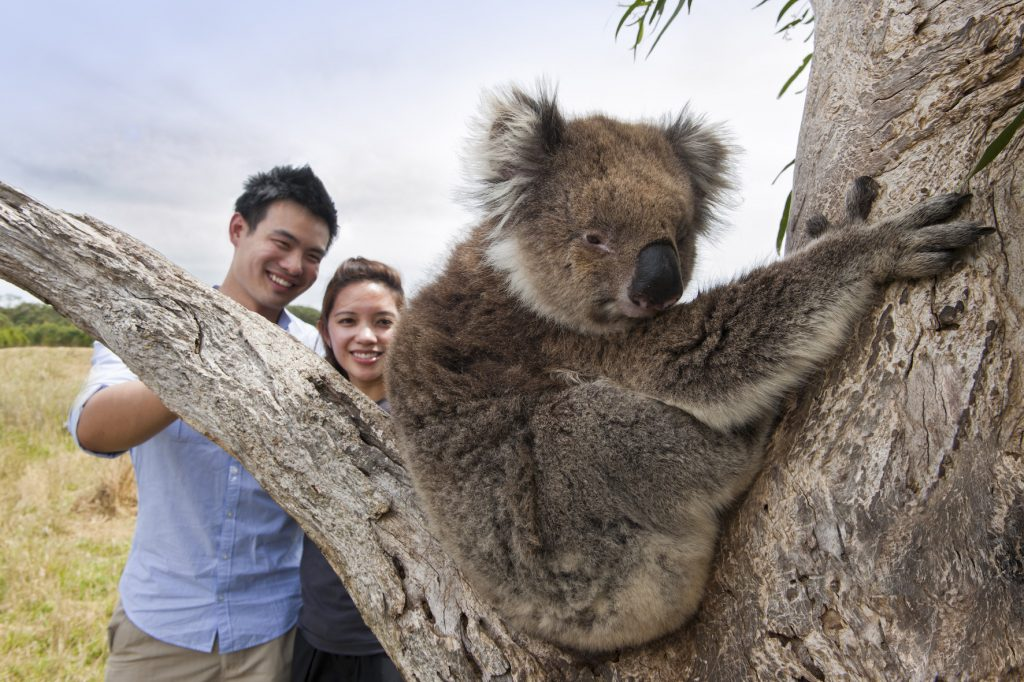 close encounters with wild koalas on the great ocean road