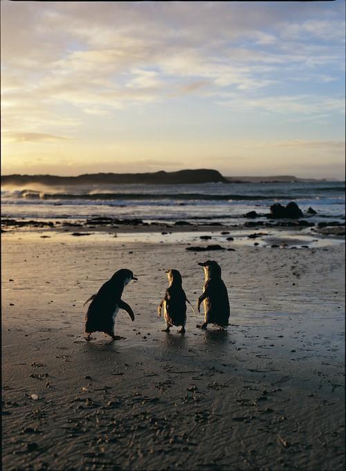 phillip island penguin tour